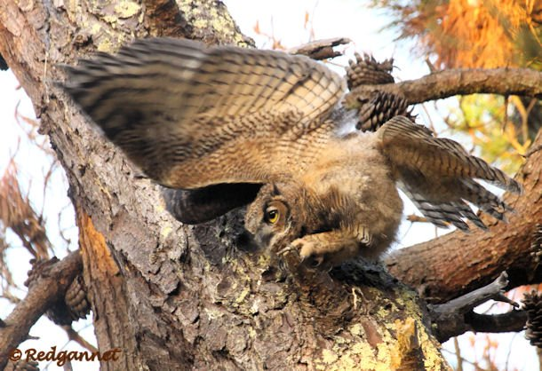 SFO 28Aug15 Great Horned Owl 06 - Copy