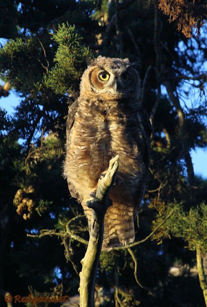 SFO 28Aug15 Great Horned Owl 07 - Copy