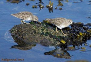 SFO 28Nov13 Least Sandpiper 02