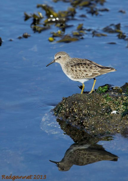SFO 28Nov13 Least Sandpiper 08