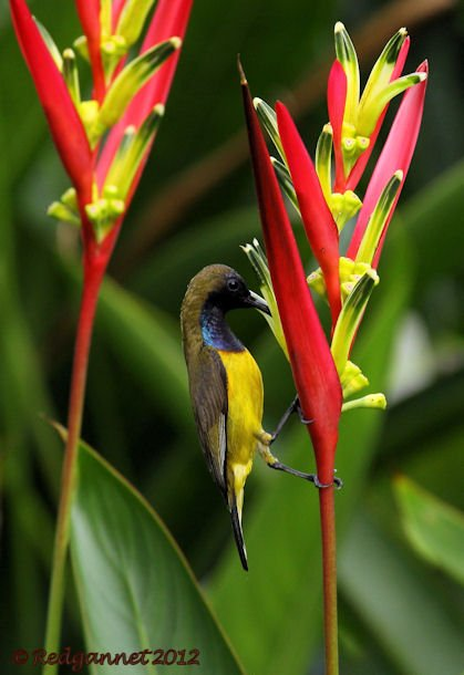 SIN 07Jun12 Olive-backed Sunbird 01