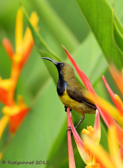 SIN 07Jun12 Olive-backed Sunbird10