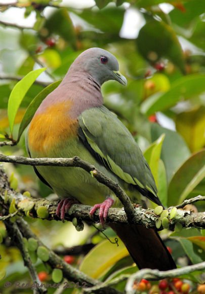 SIN 07Jun12 Pink-necked Green Pigeon 02