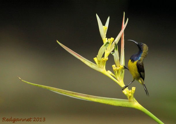 SIN 09May13 Olive-backed Sunbird 01