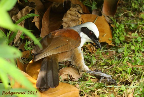 SIN 09May13 White-crested Laughing Thrush 12