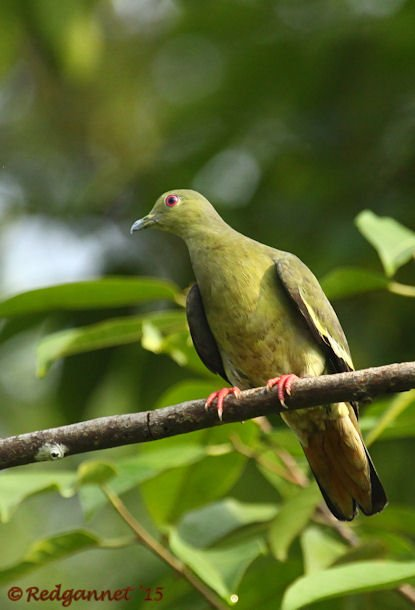 SIN 15May15 Pink-necked Green Pigeon 02