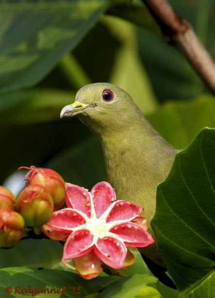 SIN 15May15 Pink-necked Green Pigeon 04