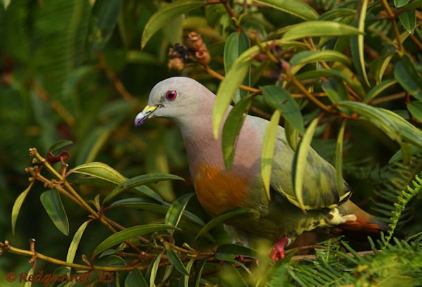 SIN 15May15 Pink-necked Green Pigeon 07