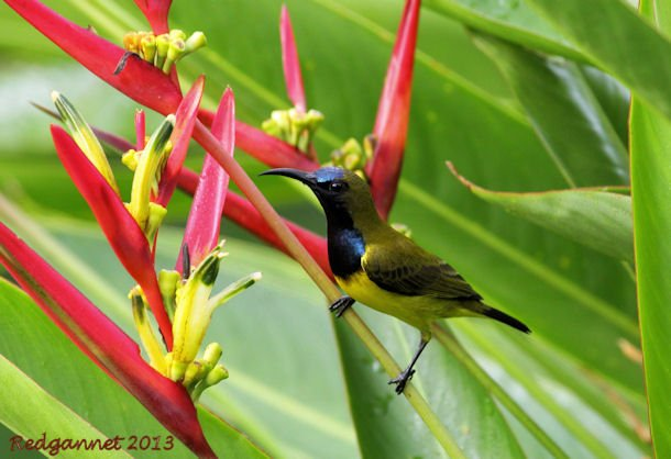 SIN 31Mar13 Olive-backed Sunbird 02