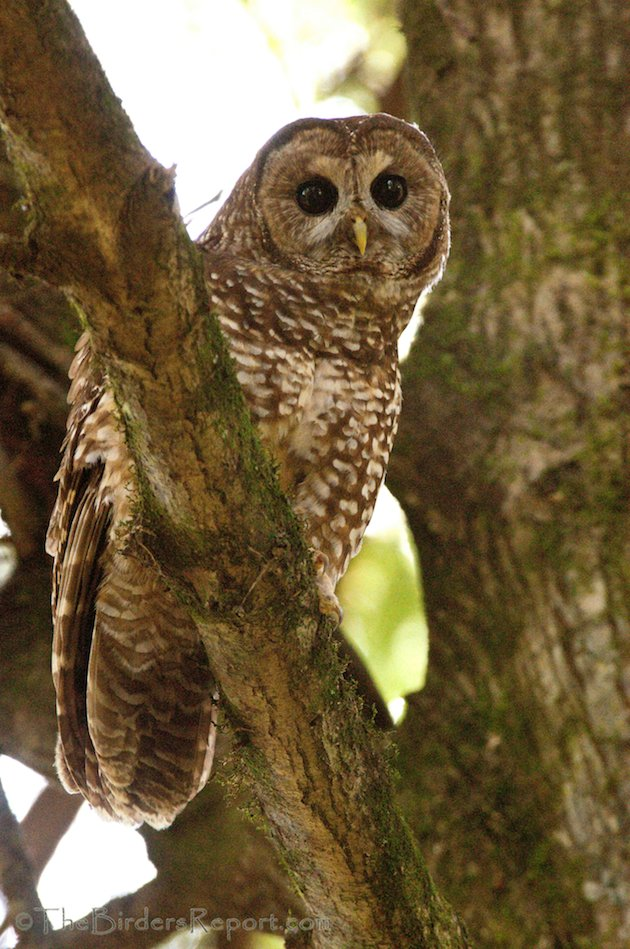 Northern Spotted Owl by Larry Jordan