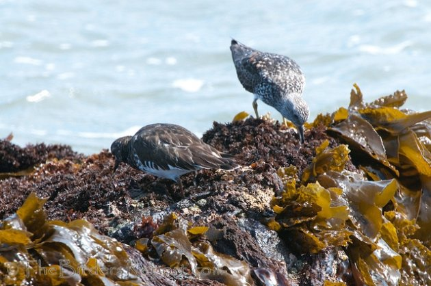 Surfbird and Black Turnstone