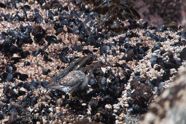 Surfbird Preening