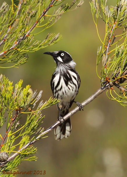 SYD 11May13 New Holland Honeyeater 03