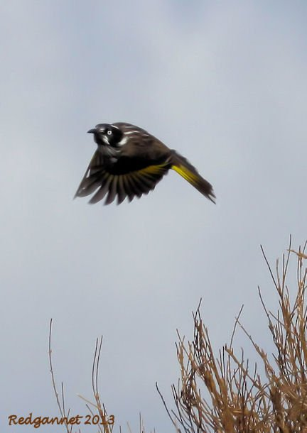 SYD 11May13 New Holland Honeyeater 04 - Copy