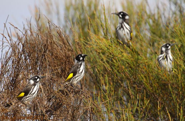 SYD 11May13 New Holland Honeyeater 09