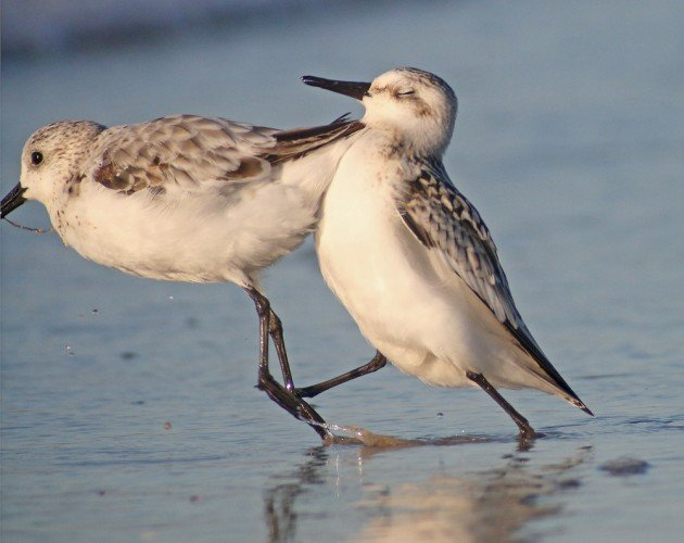 Sanderling crash