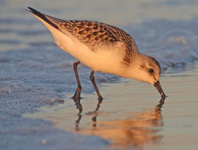 Sanderling in early morning light
