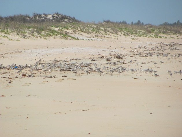Sanderling & other shorebirds