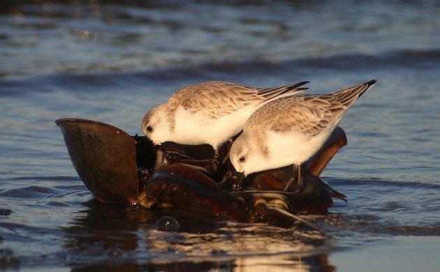 Sanderlings feeding on Horseshoe Crab