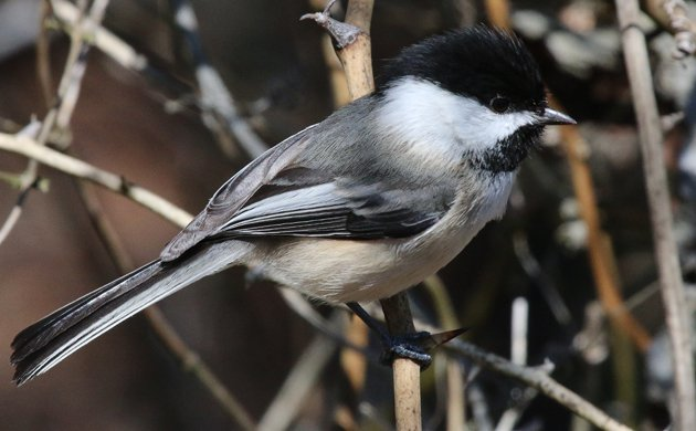 Black-capped Chickadee at Sandy Hook