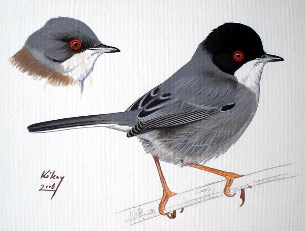 Sardinian-Warbler-by-Szabolcs-Kokay