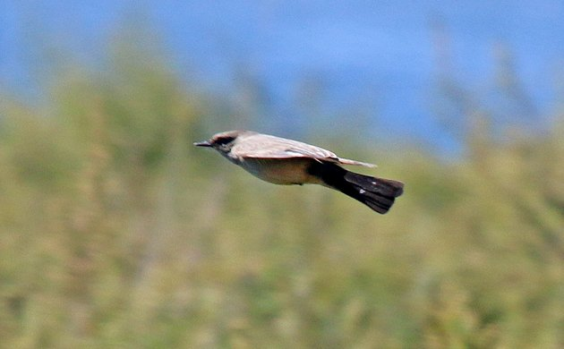 Say's Phoebe in flight