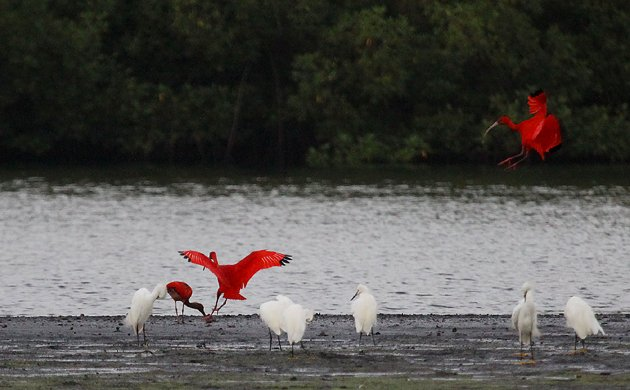 Scarlet Ibis coming in to land