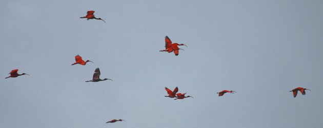Scarlet Ibis in flight at the Caroni Swamp