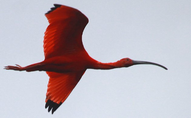 Scarlet Ibis in the Caroni Swamp