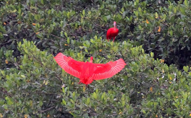 Scarlet Ibis landing in tree