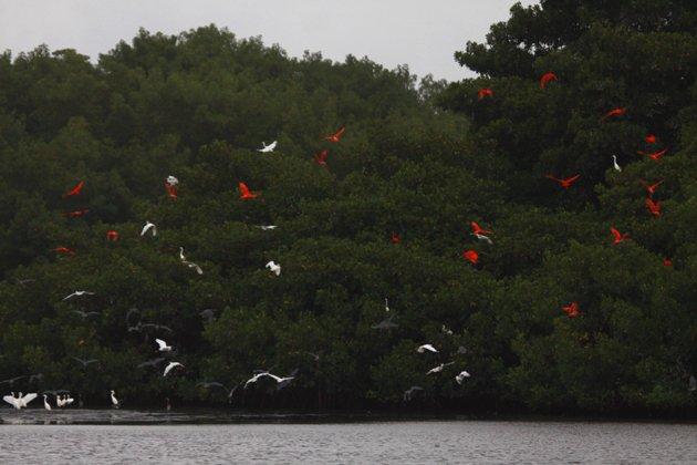 Scarlet Ibis roost