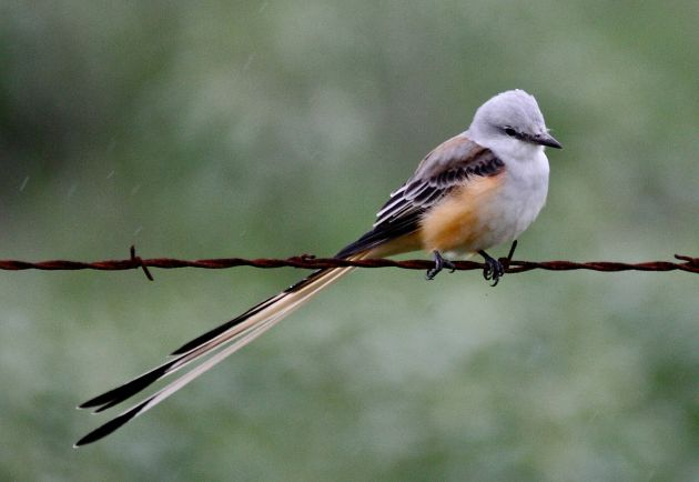 Scissor-tailed Flycatcher by Robert Burton
