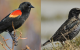Climate Change And Birds: Europe vs. North America