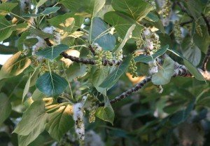 Seeds_and_Fluff_of_Cottonwood