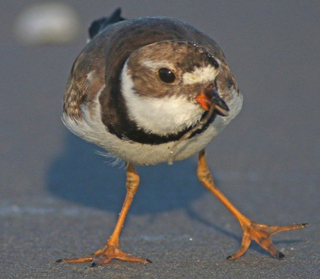 Semipalmated Plover showing its semipalmation