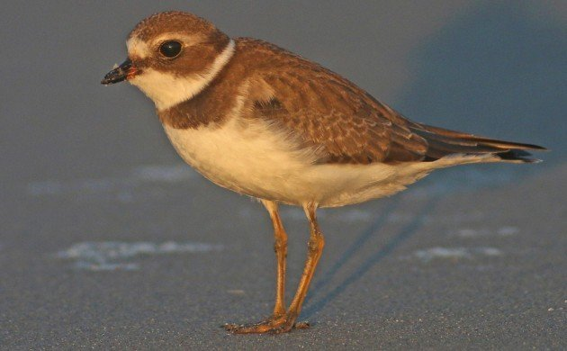 Semipalmated Plover young