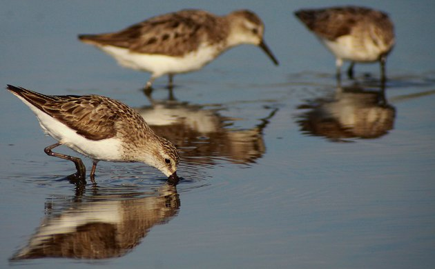 Semipalmated Sandpipers at the East Pond