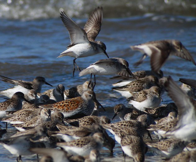 Semipalmated Sandpipers with Dunlin