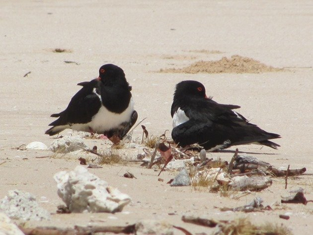 Shading 2 Pied Oystercatcher chicks