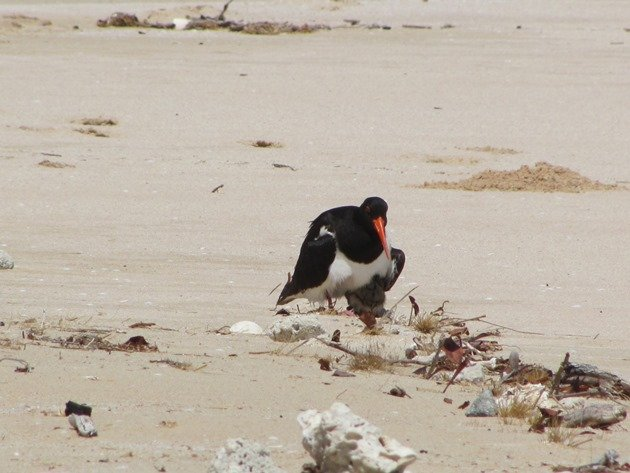 Shading Pied Oystercatcher chick
