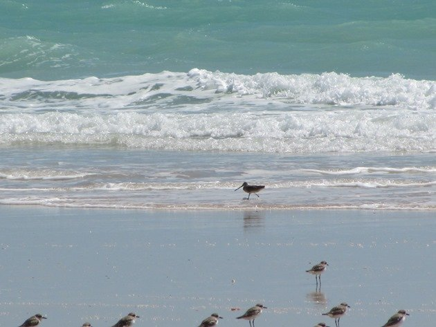 Shorebirds & Asian Dowitcher (10)