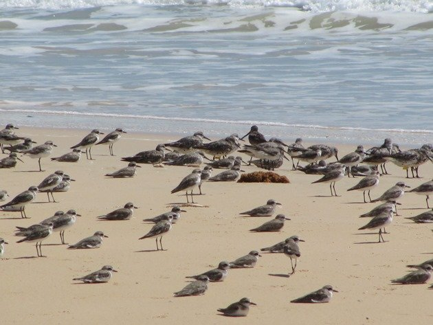 Shorebirds & Asian Dowitcher (2)