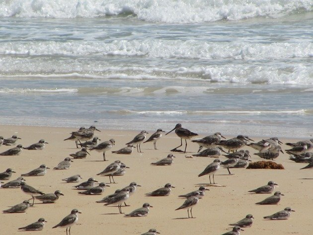 Shorebirds & Asian Dowitcher (3)