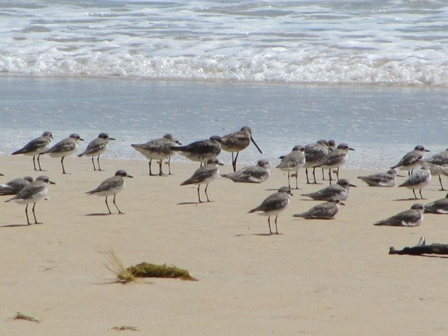 Shorebirds & Asian Dowitcher (6)