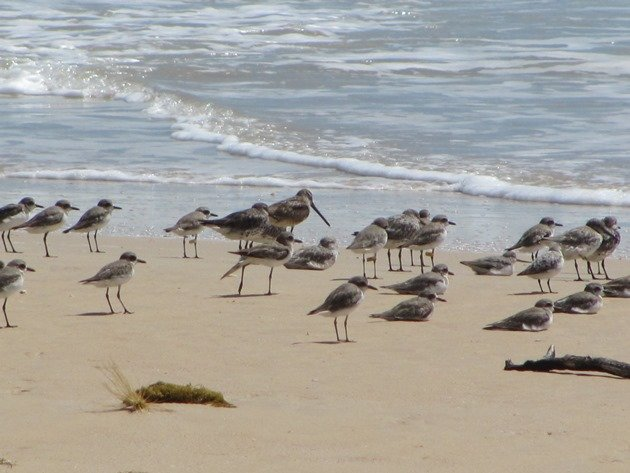 Shorebirds & Asian Dowitcher (7)