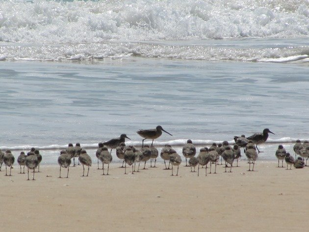 Shorebirds & Asian Dowitcher (8)