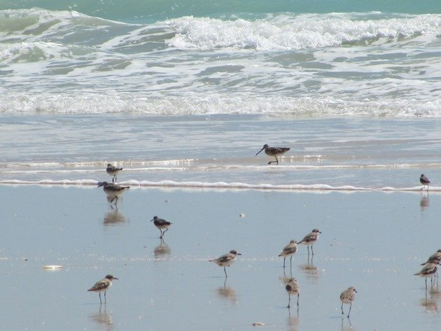 Shorebirds & Asian Dowitcher (9)