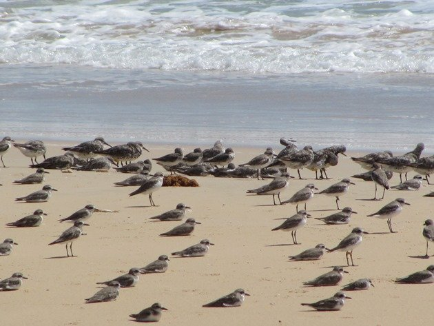Shorebirds & Asian Dowitcher