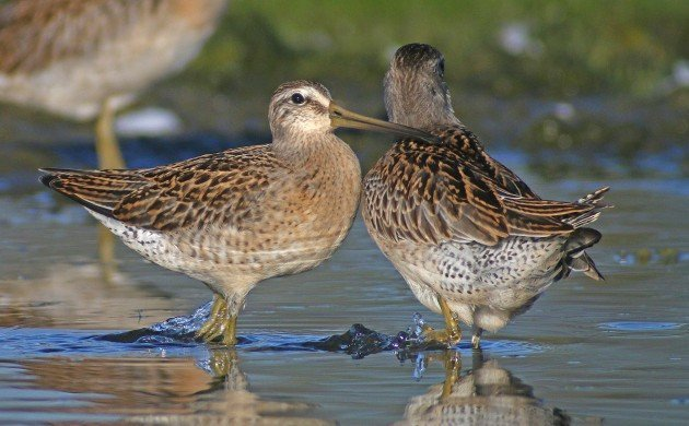 Short-billed Dowitcher aggression