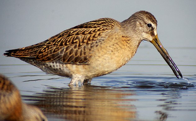 Short-billed Dowitcher Limnodromus griseus